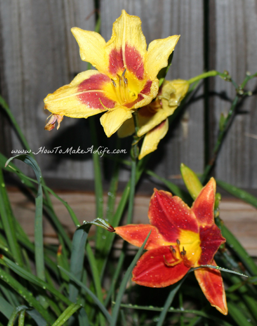 Double lillies